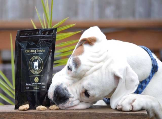 White Boxer dog stealing a CBD for Dogs treat during photo shoot