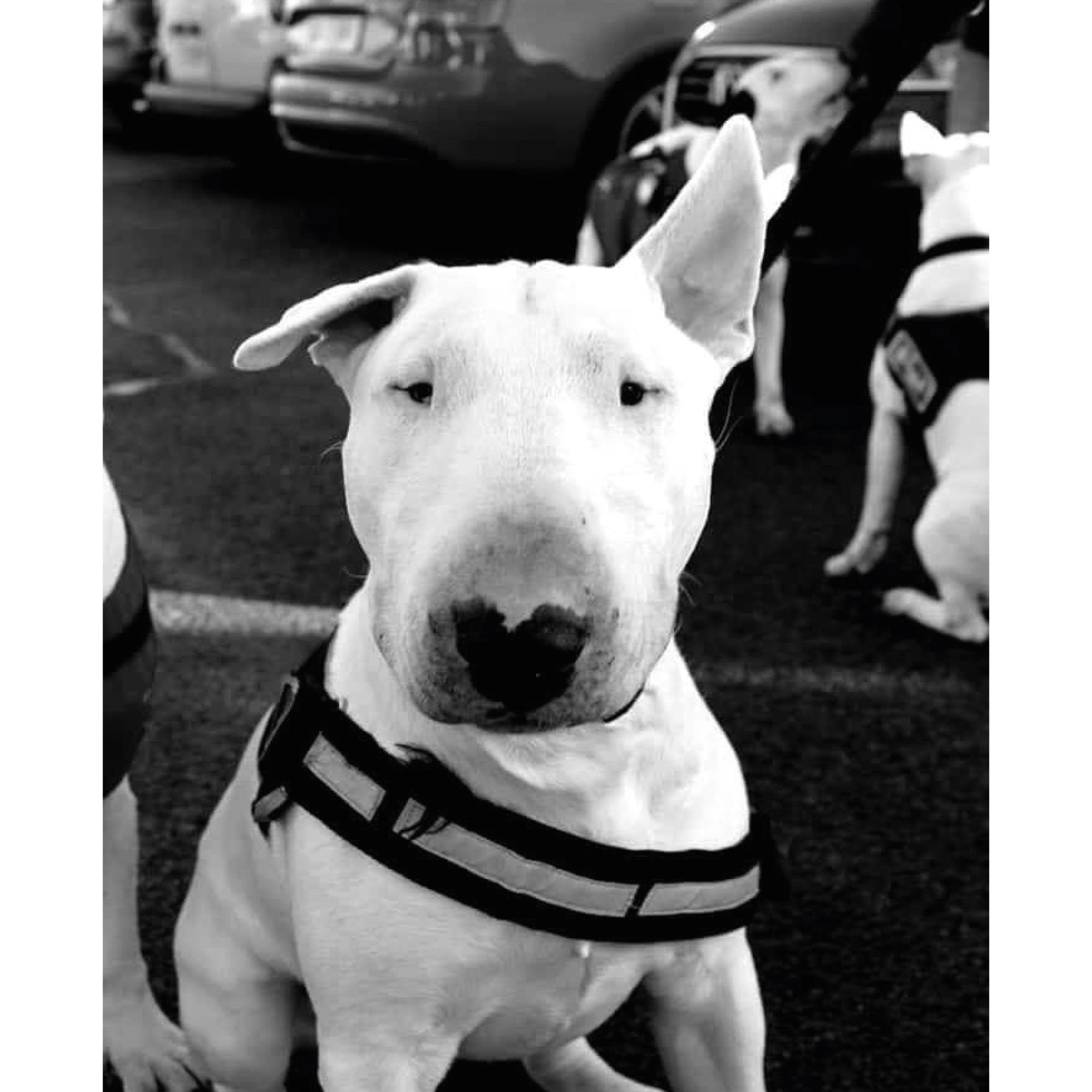 Tor the English Bull Terrier advertising CBD Dog Treats (UK)